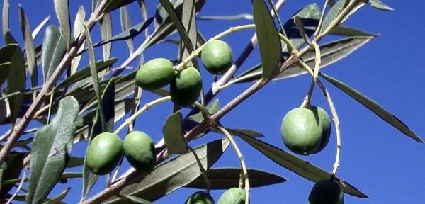 Olive-fresche.....jpg