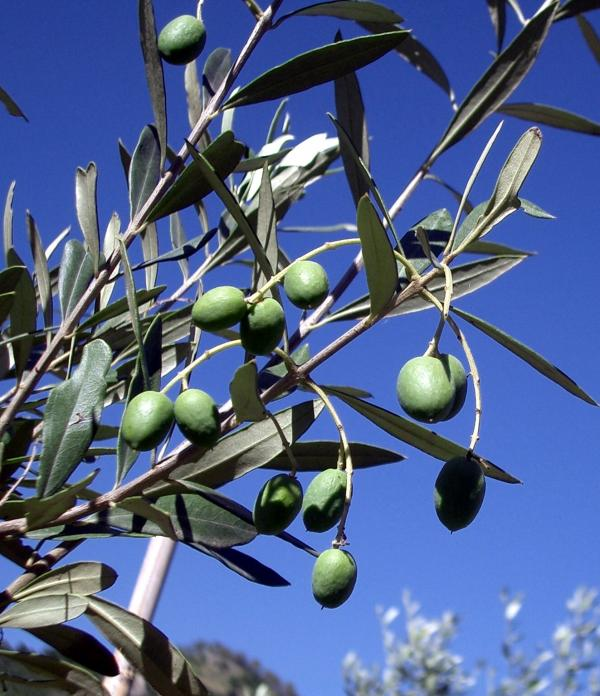 Olive fresche....