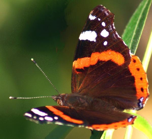 Colori volanti - farfalla