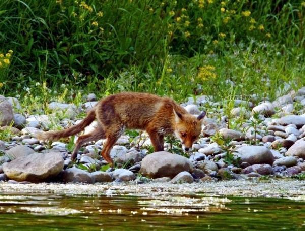La volpe e l'acqua